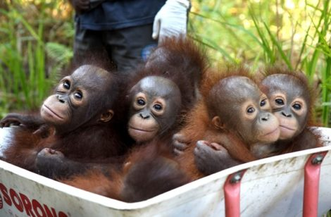 The Orangutan Project (TOP)