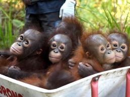 infant orangutans